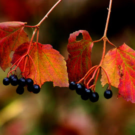 Leaves and Berries by Dave Walters - Nature Up Close Leaves & Grasses ( canon, mystical, nature, colors, blue ridge parkway,  )
