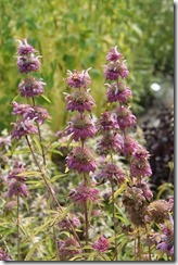 Monarda citriodora (2)