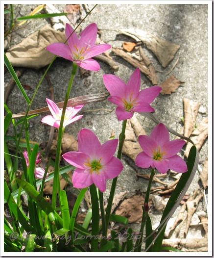 09-03-rain-lilies