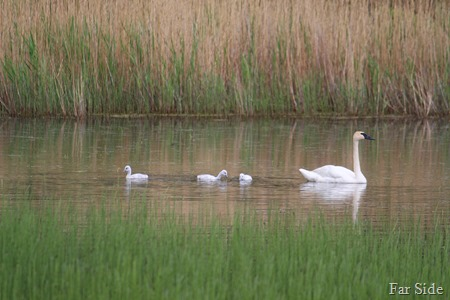 Trumpeter Swan and cygnets