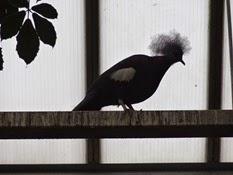 2015.04.27-013 pigeon couronné