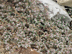 Smallseed Sandmat- AZ Trail