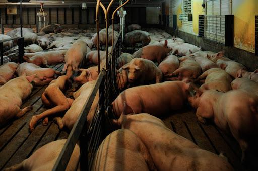 Miru_Kim - Vivendo nua om porcos