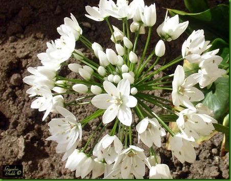 Allium_neapolitanum