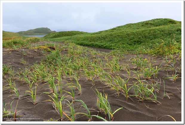 150908_Adak_beachgrass2_WM