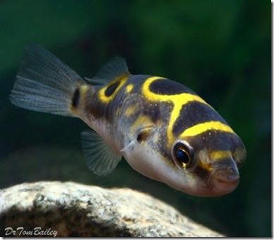 be-ca-canh-figure_eight_puffer_canocso8-be-thuy-sinh