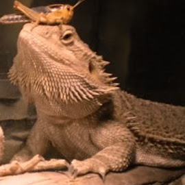 His food is sitting on his head  by Redski Pictures - Animals Reptiles ( food, beard dragon, reptile, grasshopper, animal )