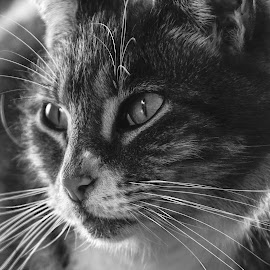 by Martin Hurwitz - Animals - Cats Portraits