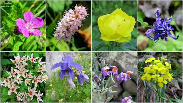 florile Craiului 1_w.jpg
