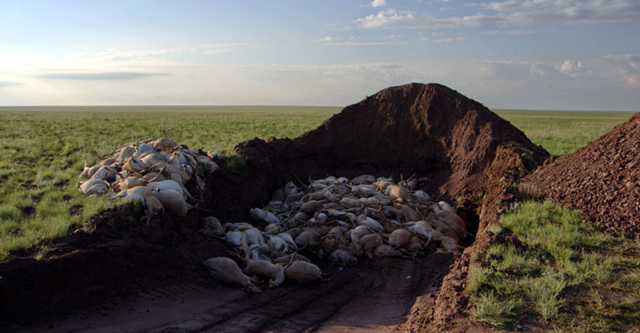 Mass burial of saigas in central Kazakhstan, in May 2015. Over a four period, the entire herd — about 60,000 saigas — died off. Workers struggled to keep up with the mass dying, quickly burying the dead animals in heaps. Photo: Sergei Khomenko / FAO