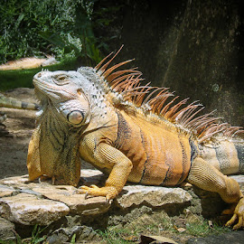 The Mighty Iguana by Ben, Instagram: @bgrantphotos - Novices Only Wildlife ( my1eye, nature, roatan, iguana, wildlife )