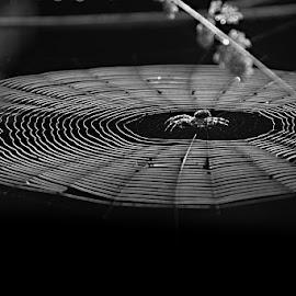 *** by Katka Kozáková - Nature Up Close Webs ( black and white, spider, web, spider web,  )