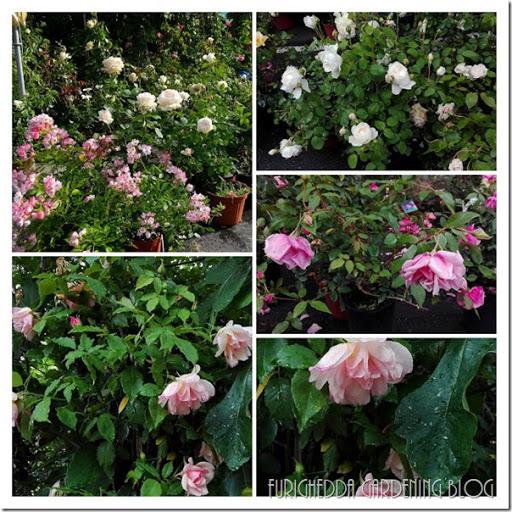 Mela rose rosa rugosa /'ALBA/' 60cm nel 3 L Pentola