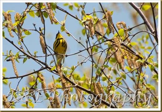 Warbler (1 of 3)-2