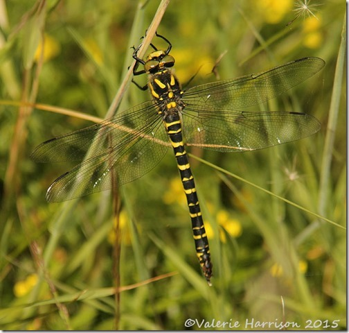 21-golden-ringed-dragonfly