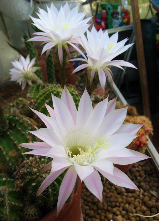 Cactus flowers 010