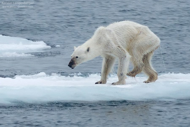 A starving, severely underweight female polar bear is seen on a small piece of sea ice, 20 August 2015. Photo: Kerstin Langenberger