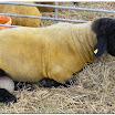 Sheep04.jpg