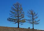 W Mongolii można spotkać drzewa. Czasem.