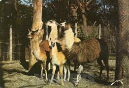 Piétat lamas