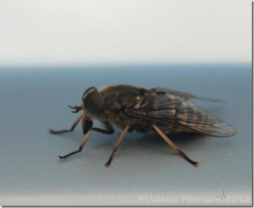 27-giant-horsefly
