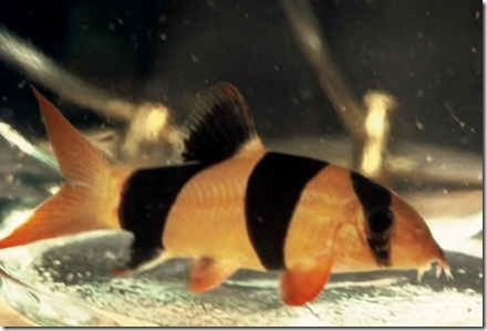 be-ca-canh-clown_loach_cacheohe_cachuotbasoc004-be-thuy-sinh