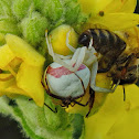 Female & male Goldenrod crab spiders and prey.
