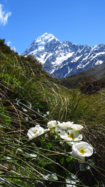 The Mount Cook Lily (really a buttercup).