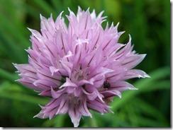 Allium_schoenoprasum_Estonia_2009