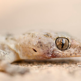 Golden Gecko by Christine Scholtz - Animals Amphibians ( macro, gecko, nature up close, golden, eye )