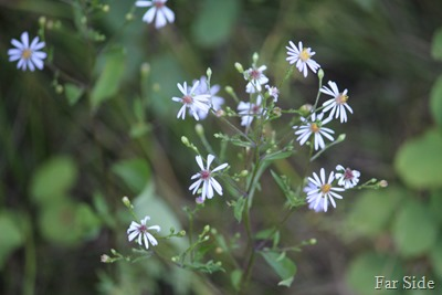 First Aster