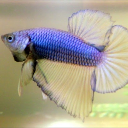 All about betta fish wild type betta macrostoma for Wild betta fish