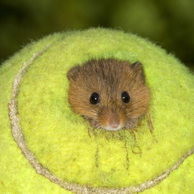 Used Wimbledon Tennis Balls Become Tiny Homes for Mice