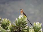 Gurney's sugarbird (photo by Clare)