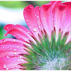 by Koento Birowo - Nature Up Close Flowers - 2011-2013