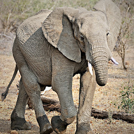 Young Elephant Bull by Pieter J de Villiers - Animals Other ( mammals, animals, kruger national park, other, elephant, south africa, young elephant bull )