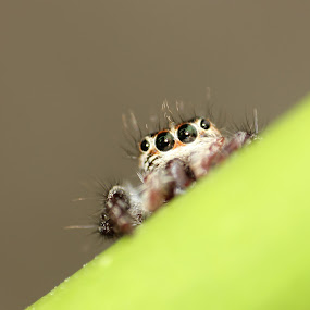 Peeping... by Gokul Rajenan - Animals Insects & Spiders ( #jumper spider #macro #hidding )