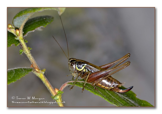 Bug Affair 1  largest  Roesel's