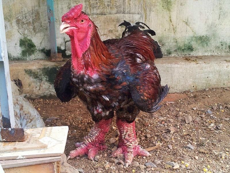 دونغ تاو...دجاج بساق التنين