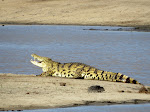 Nile crocodile (photo by Clare) - Kruger National Park