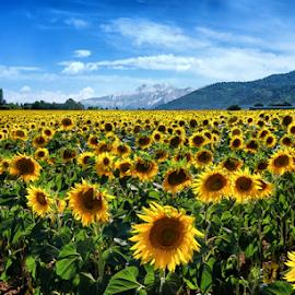 Sunflower Fields by Ad Spruijt - Flowers Flowers in the Wild (  )