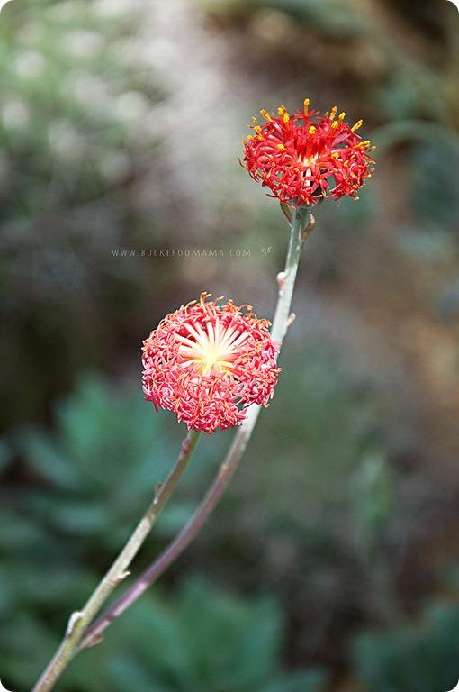 Cactus-flowers-(1)