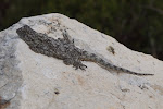 Unidentified flattish lizard.