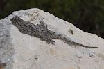 Unidentified flattish lizard.