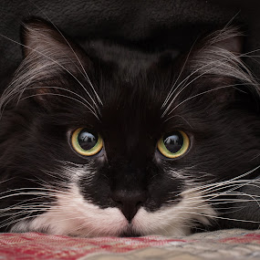 by Rick W - Animals - Cats Portraits