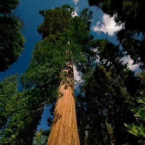 Old Giant by Olga Charny - Nature Up Close Trees & Bushes ( giant sequoia )