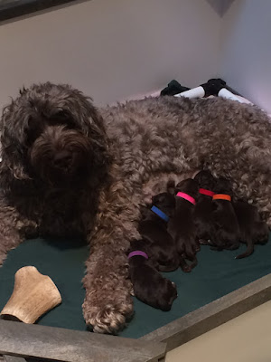 New Mama with her chocolate doodle babies, at Paws Upon the Cowlitz.