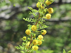 Blooming creosote bush 4/28