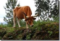 """Troupeaux de vaches en liberté ! Issues d'une race ancienne  """"Barrosa"""", elles servaient aussi bien pour le trait, le lait et la viande. De petit format, elles étaient parfaitement adaptées à la région."""