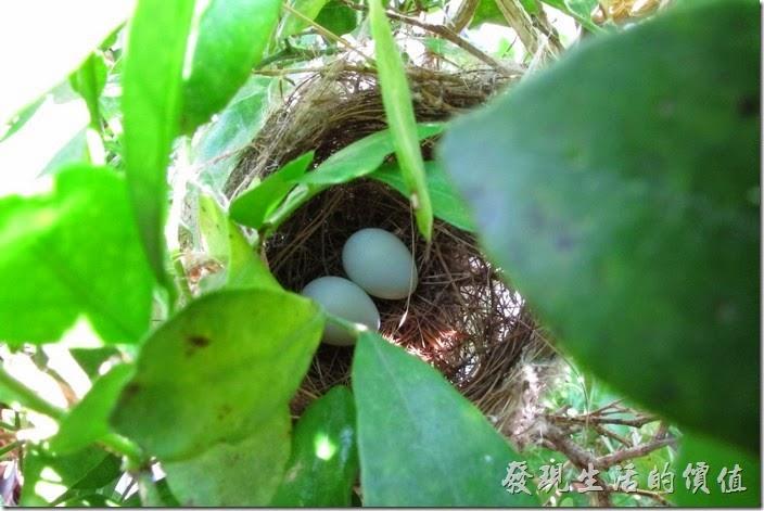 綠袖眼兩顆蛋
